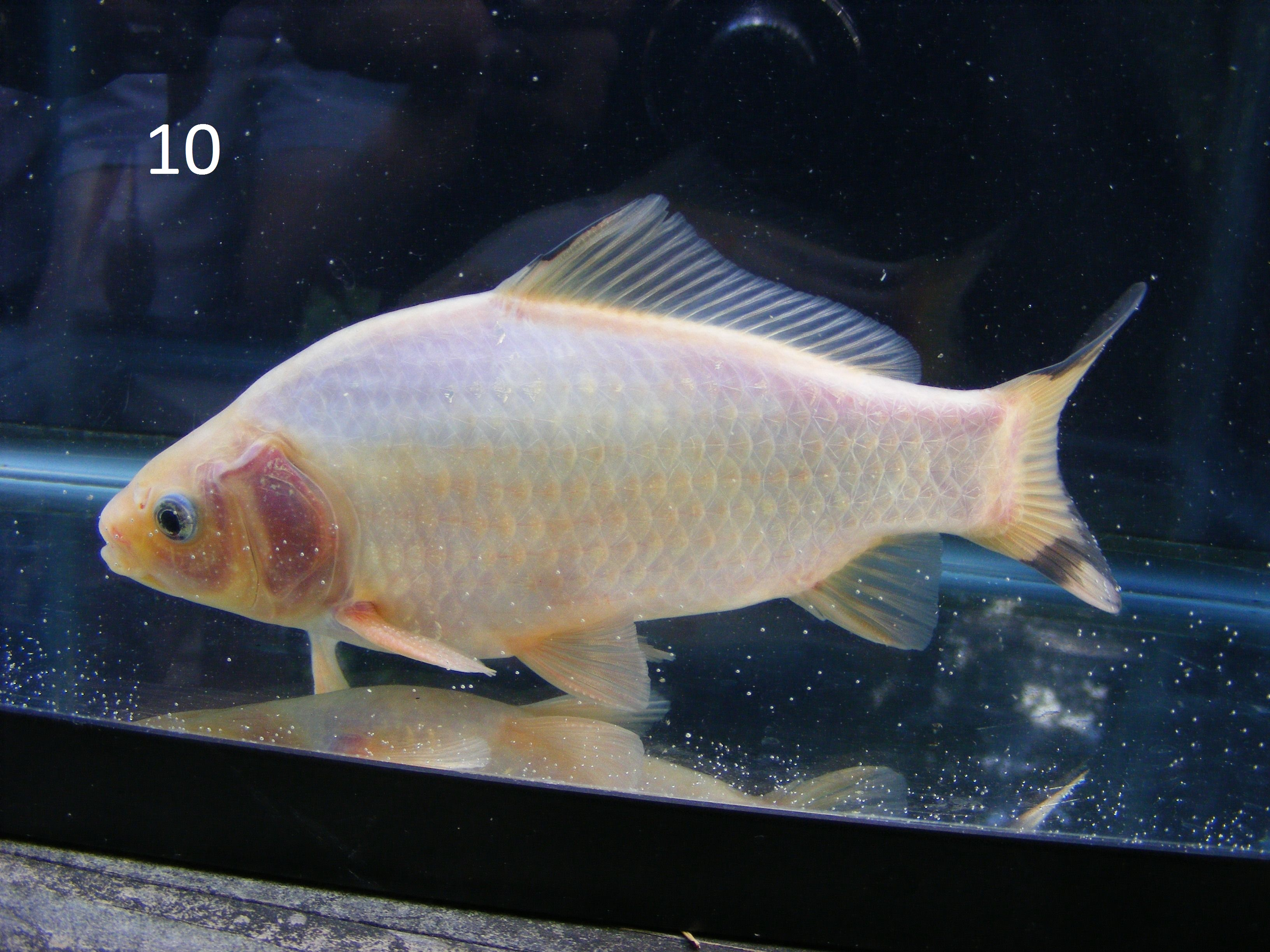Site for goldfish keepers culling scale types for Do all fish have scales