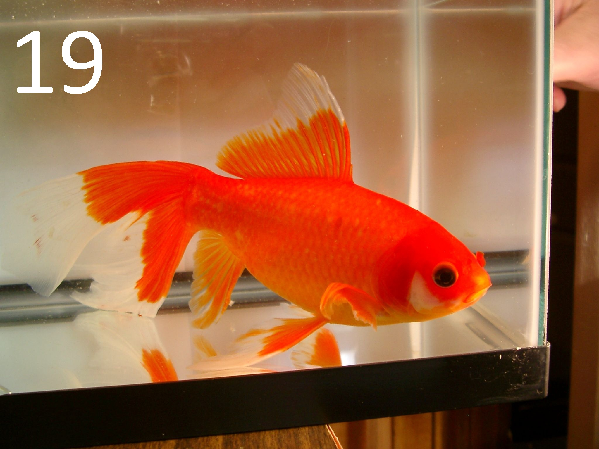 Site for Goldfish Keepers - Culling Scale Types