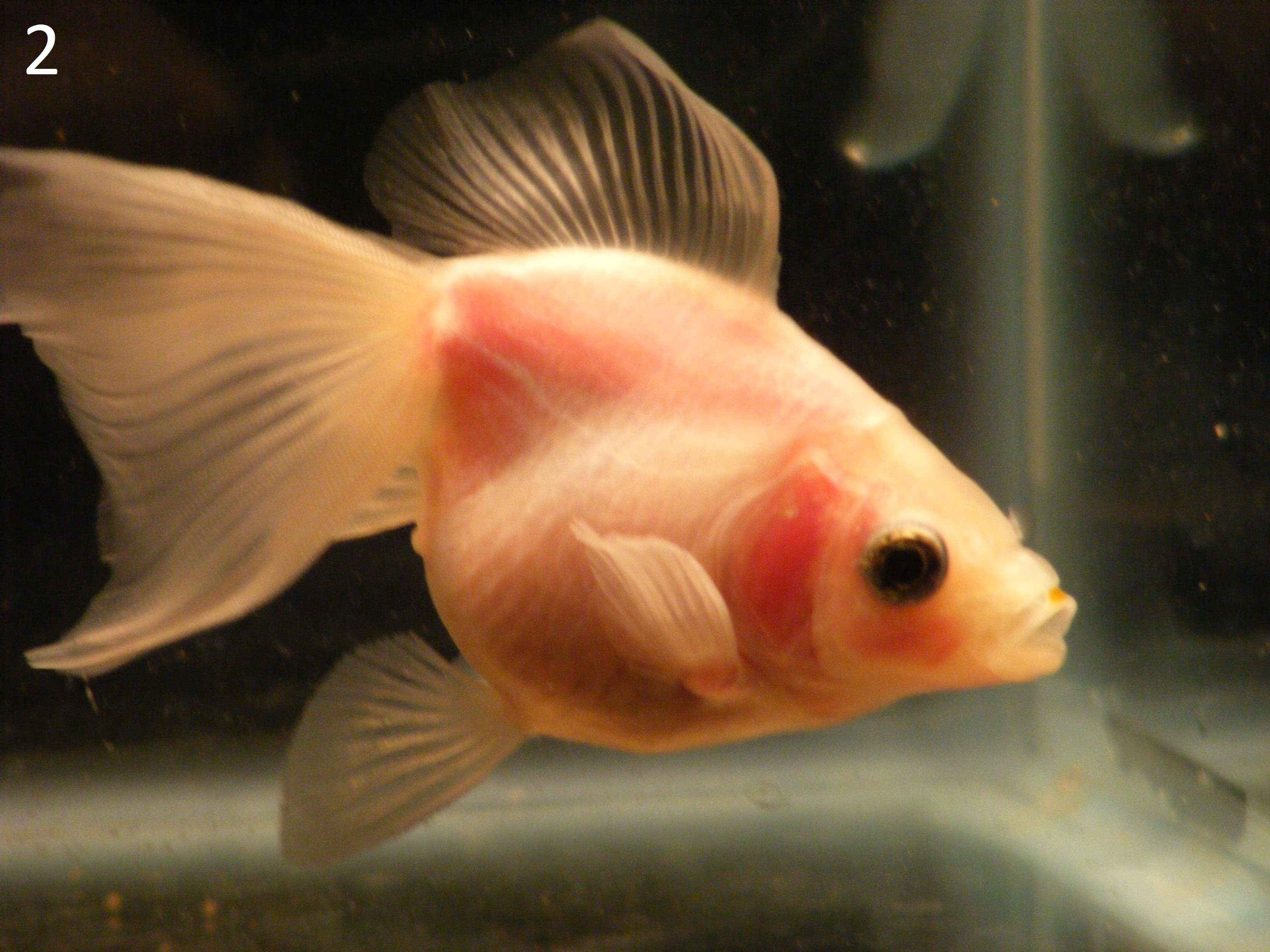 Goldfish types and sizes for Healthiest types of fish