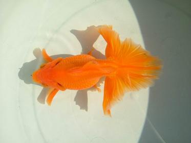 Curled Gill Goldfish