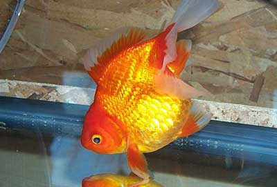 Site for Goldfish Keepers - culling Tosakin