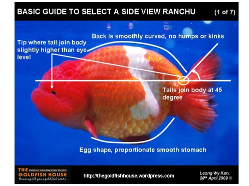 HOW TO SELECT AND RAISE A RANCHU GOLDFISH ?